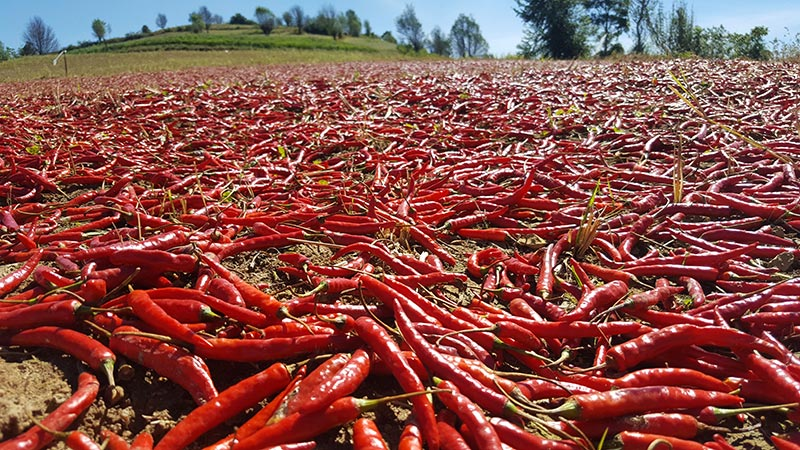 Drying Chillies Close Up - Shan Farming - Kalaw to Inle Hike